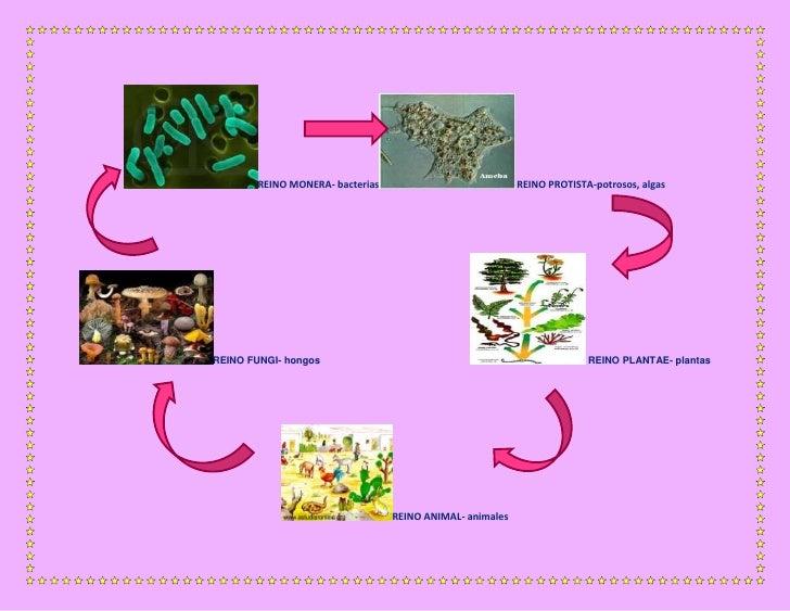 REINO MONERA- bacterias                            REINO PROTISTA-potrosos, algasREINO FUNGI- hongos                      ...