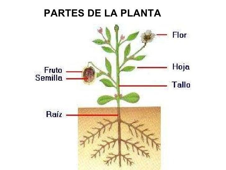 Reino vegetal for Plantas fundamentales