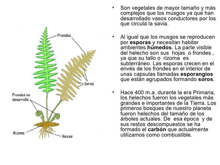 Reproduccion asexual de las plantas rizomas de regaliz