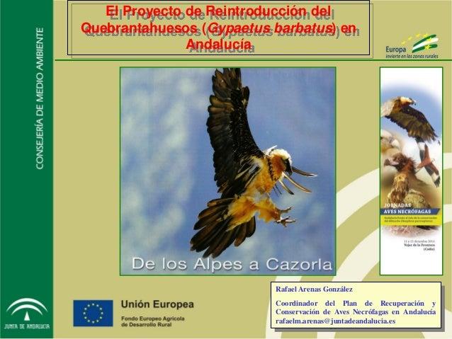 El Proyecto de Reintroducción del Quebrantahuesos (Gypaetus barbatus) en Andalucía Rafael Arenas González Coordinador del ...
