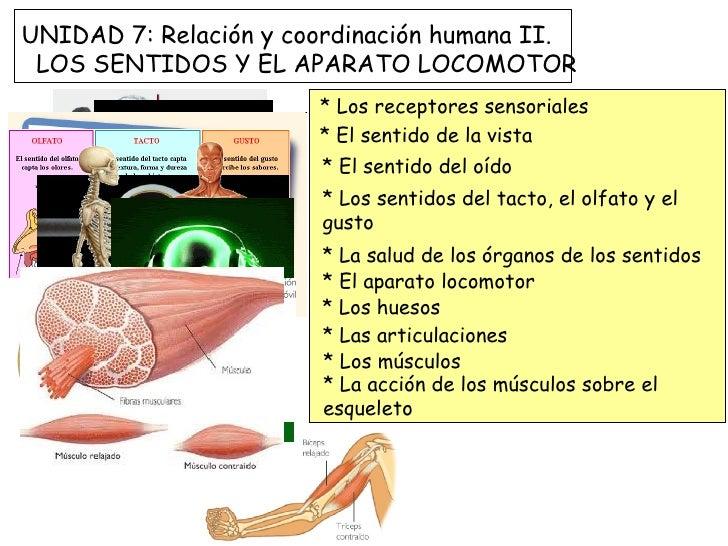 UNIDAD 7: Relación y coordinación humana II. LOS SENTIDOS Y EL APARATO LOCOMOTOR                       * Los receptores se...