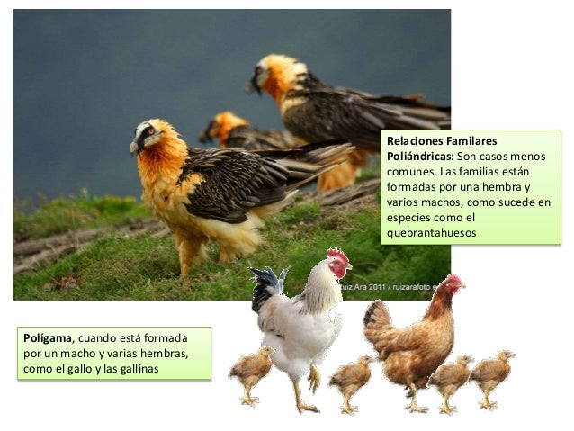 Polígama, cuando está formada por un macho y varias hembras, como el gallo y las gallinas Relaciones Familares Poliándrica...