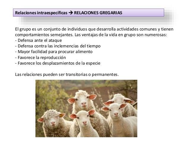 Relaciones intraespecíficas  RELACIONES GREGARIAS El grupo es un conjunto de individuos que desarrolla actividades comune...