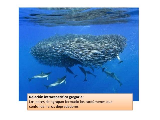 Relación intraespecífica gregaria: Los peces de agrupan formado los cardúmenes que confunden a los depredadores.