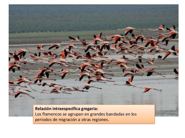 Relación intraespecífica gregaria: Los flamencos se agrupan en grandes bandadas en los periodos de migración a otras regio...