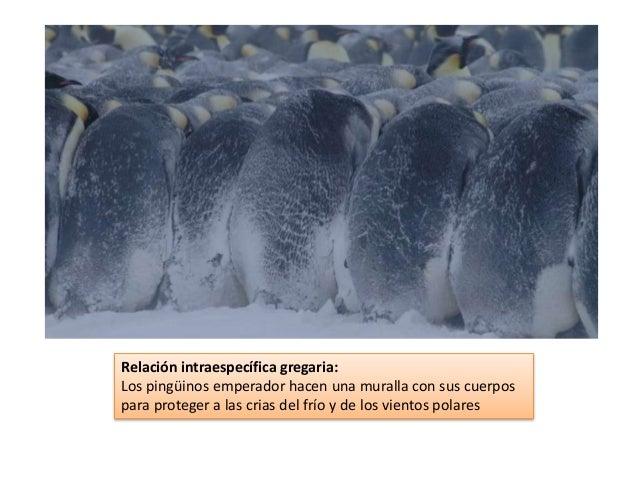 Relación intraespecífica gregaria: Los pingüinos emperador hacen una muralla con sus cuerpos para proteger a las crias del...