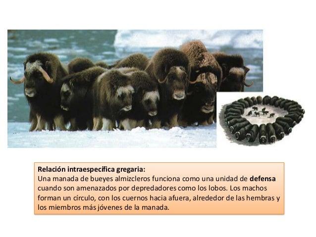 Relación intraespecífica gregaria: Una manada de bueyes almizcleros funciona como una unidad de defensa cuando son amenaza...
