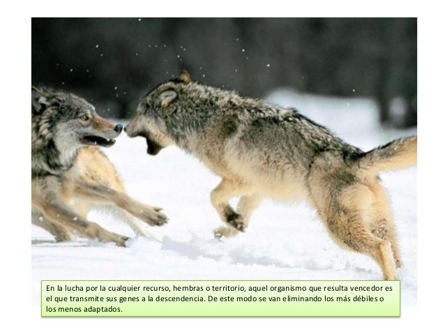 En la lucha por la cualquier recurso, hembras o territorio, aquel organismo que resulta vencedor es el que transmite sus g...