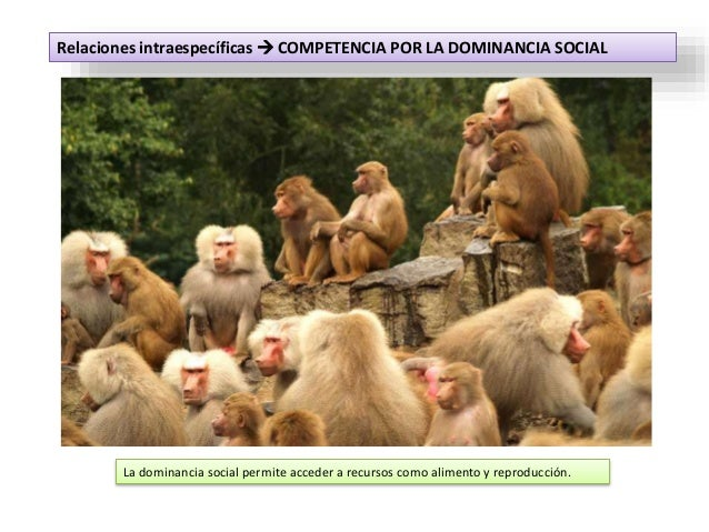 Relaciones intraespecíficas  COMPETENCIA POR LA DOMINANCIA SOCIAL La dominancia social permite acceder a recursos como al...