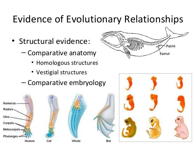 Evidence of Evolutionary Relationships• Structural evidence:– Comparative anatomy• Homologous structures• Vestigial struct...