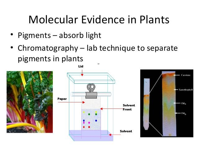 Molecular Evidence in Plants• Pigments – absorb light• Chromatography – lab technique to separatepigments in plants