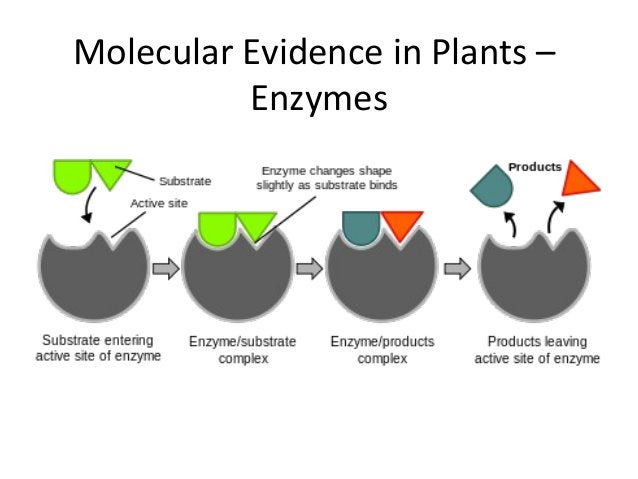 Molecular Evidence in Plants –Enzymes