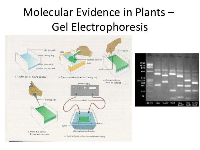 Molecular Evidence in Plants –Gel Electrophoresis