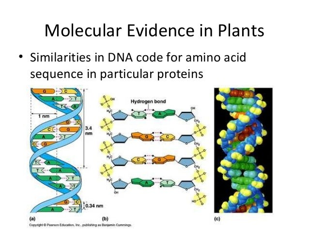 Molecular Evidence in Plants• Similarities in DNA code for amino acidsequence in particular proteins