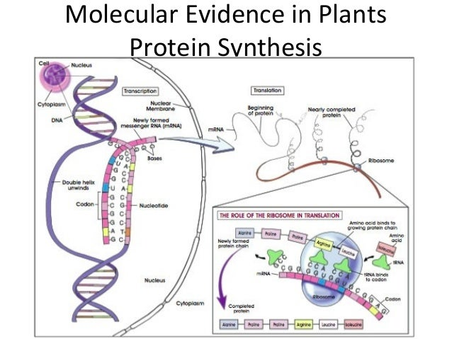 Molecular Evidence in PlantsProtein Synthesis