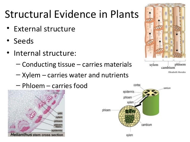 Structural Evidence in Plants• External structure• Seeds• Internal structure:– Conducting tissue – carries materials– Xyle...