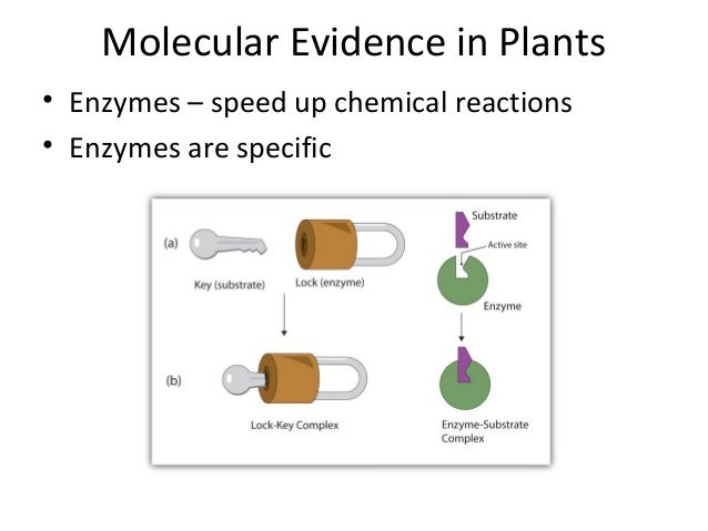 Molecular Evidence in Plants• Enzymes – speed up chemical reactions• Enzymes are specific