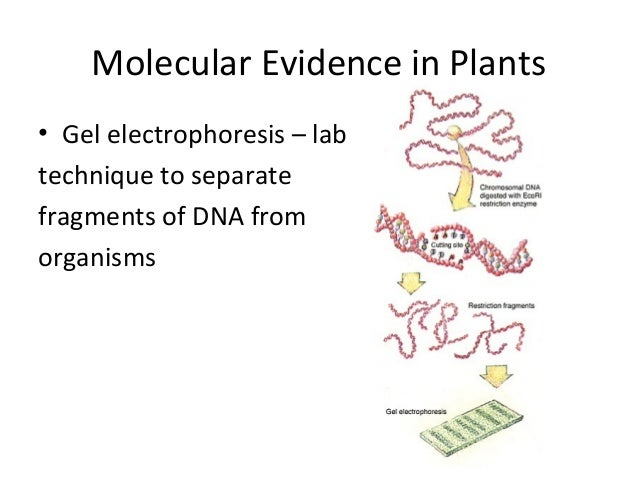 Molecular Evidence in Plants• Gel electrophoresis – labtechnique to separatefragments of DNA fromorganisms