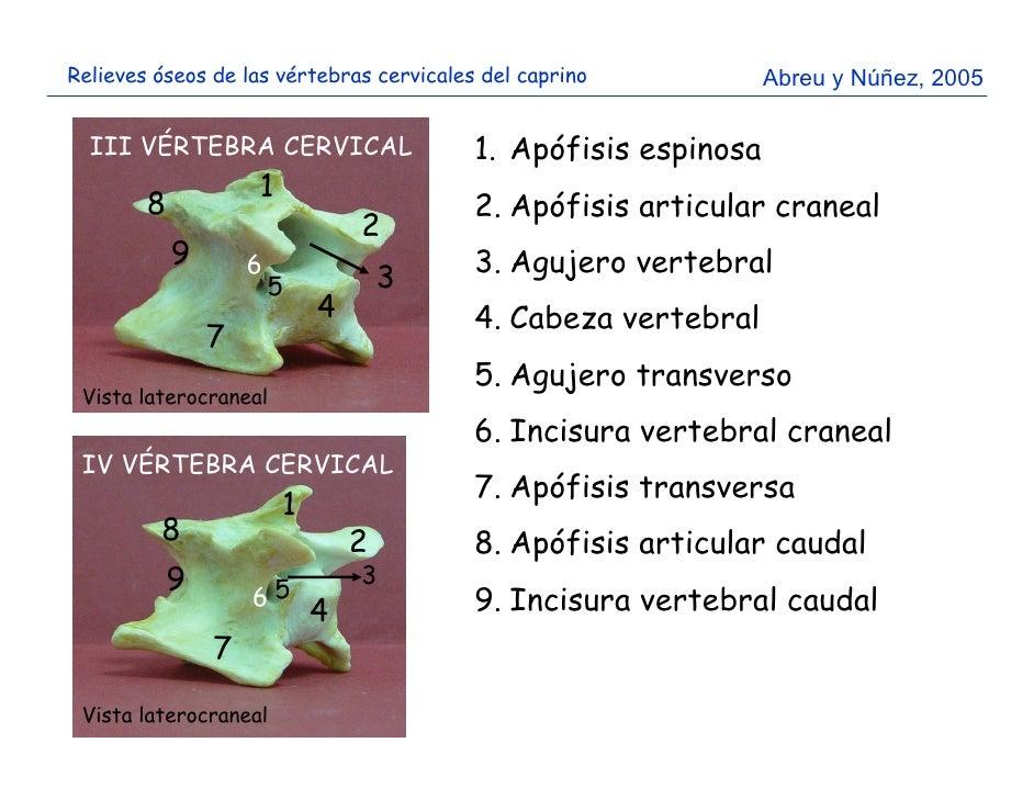 Relieves óseos del cráneo y vértebras cervicales del caprino