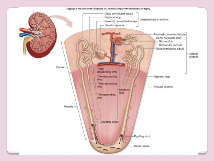 renal anatomy, Human Body