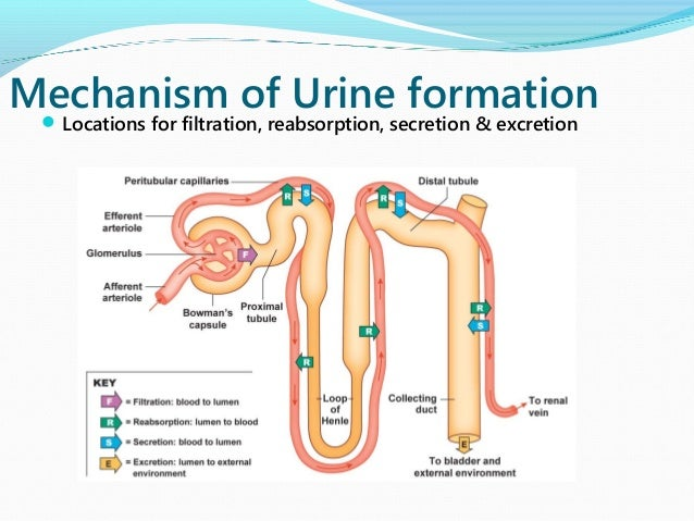 process of urine formation 1 ultrafiltration: walls of glomerular capillaries and bowman's capsule are very thin and semipermeable in nature hence, they act as ultrafilters the.