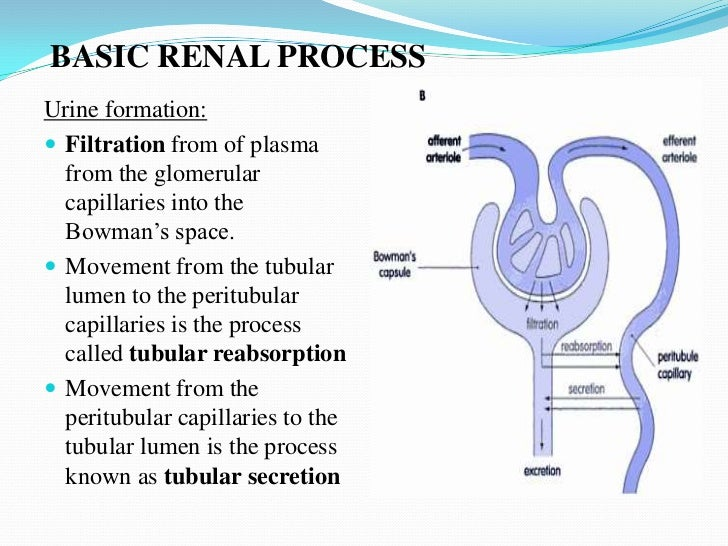all of the following processes are involved in tubular reabsorption except This article explains the renal clearance, tubular transport and the  except during high  it is involved primarily in the reabsorption of sodium ions in the.