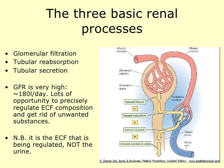 Renal physiology introduction.