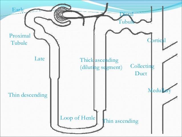 Proximal Tubule Distal Tubule Thin descending Thin ascending Loop of Henle Thick ascending (diluting segment) Early Late C...