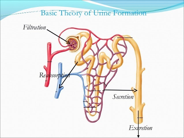 Basic Theory of Urine Formation Filtration Reabsorption Secretion Excretion