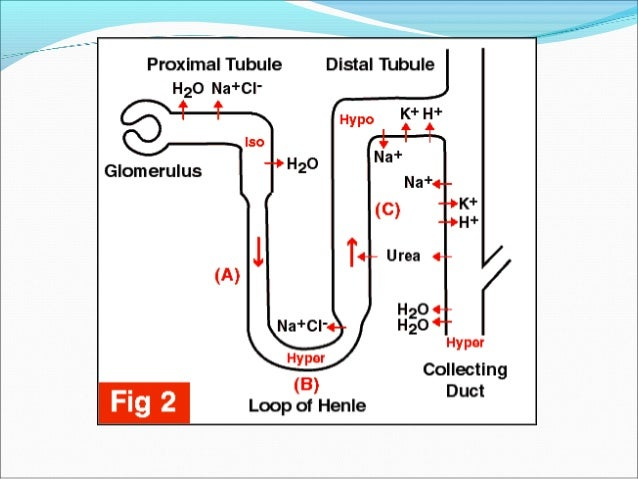 Sodium reabsorption in PCT (65-75% of filtered NaSodium reabsorption in PCT (65-75% of filtered Na++ loadload reabsorbed)r...