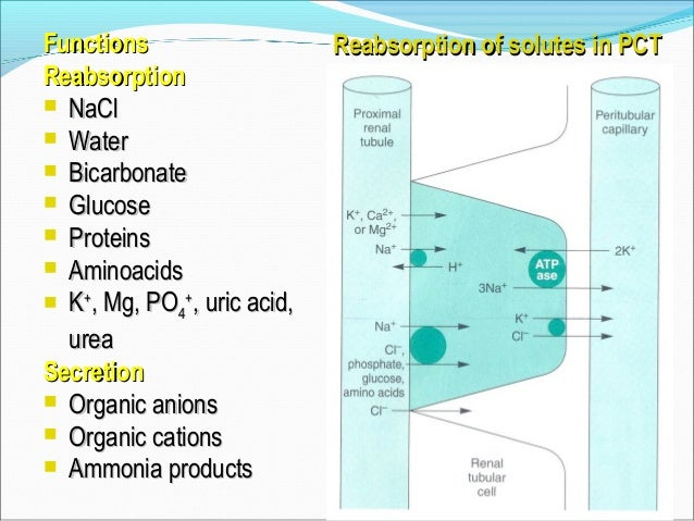 PROXIMAL TUBULE SUMMARY • 2/3 of salts and water reabsorbed •All glucose and a.a. reabsorbed •Reabsorption is isotonic: PT...