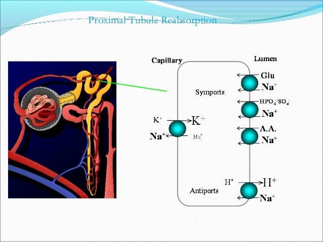 Loop of HenleLoop of Henle  25-30% ultrafiltrate reaches loop of Henle25-30% ultrafiltrate reaches loop of Henle ↓↓  15-...
