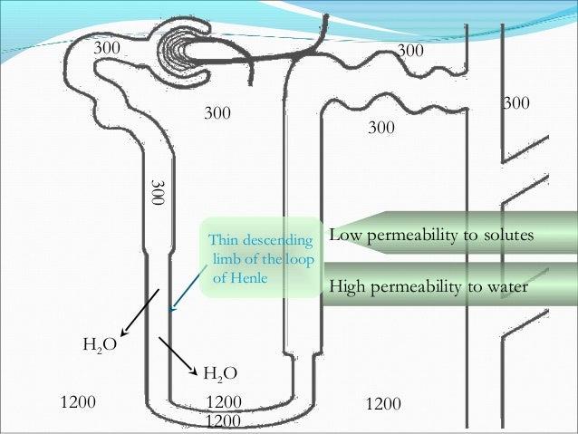 300 300 300 300 300 1200 1200 1200 1200 Na+ K+ 2 Cl- Na+ K+ 2 Cl- 150Distal Tubule Na+ K+ 2 Cl- Na+ K+ 2 Cl- Impermeable t...
