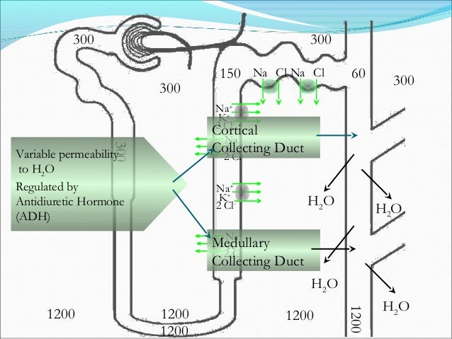 Reabsorption of Urea 50% of Filtered Urea Reabsorbed 4 5 30 100500600 600 Tubular Concentrations of Urea are in mmoles/L M...