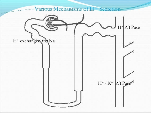CO2 + H2O H2CO3 HCO3 - + H+ Bicarbonate Reabsorption C.A. Filtered H2CO3 CO2 + H2O C.A. Primarily in Proximal Tubule - 0 %...