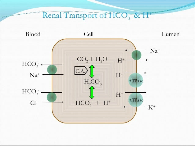 CO2 + H2O H2CO3 HCO3 - + H+ Titratable Acid Excretion C.A. Na+ Filtered H+ + HPO4 2- Primarily in Distal Tubule & CD - 33 ...
