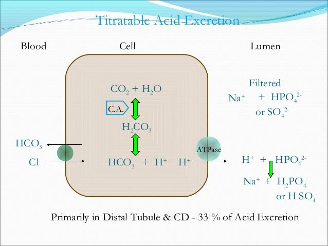 Factors that Stimulate H+ Secretion • Acidosis Metabolic or Respiratory • Hypokalemia • Aldosterone