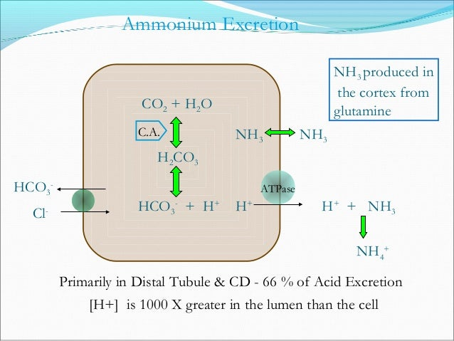 Regulation of H+ Excretion CO2 + H2O H2CO3 HCO3 - + H+ HCO3 - Na+ H+ C.A. Blood Cell Lumen ATPase