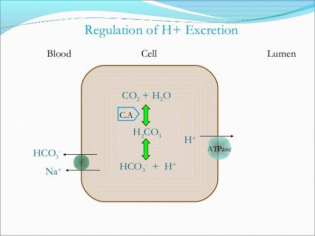 Hormones Produced by the Kidney Renin: Released from juxtaglomerular apparatus when low blood flow or low Na+. Renin lea...