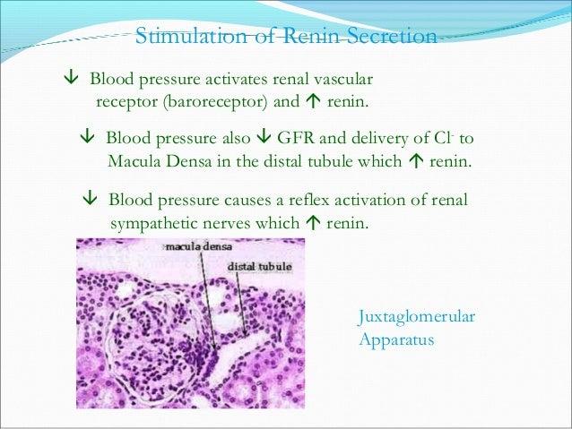 Renin, Angiotensin, Aldosterone: Regulation of Salt/Water Balance