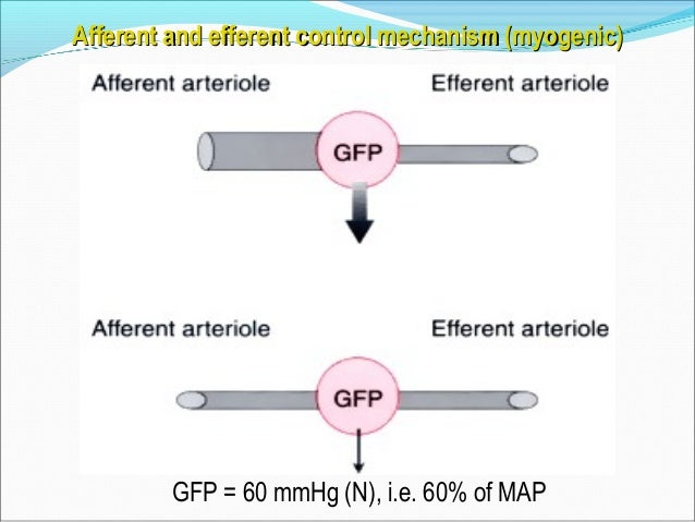Epinephrine & norepinephrineEpinephrine & norepinephrine ↓↓ ↑↑ Afferent arterial tone (directly & preferentially)Afferent ...