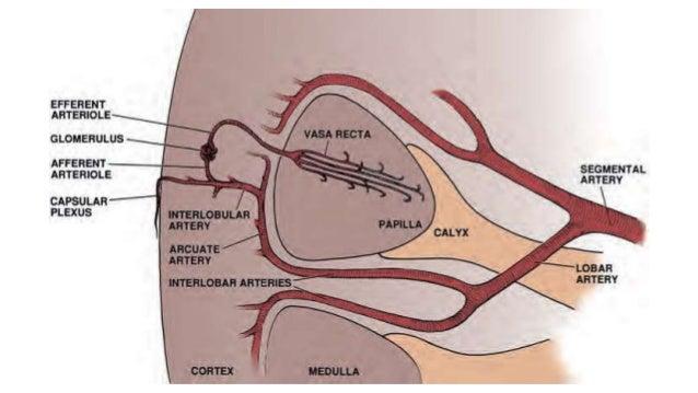 Renal vascular anatomy