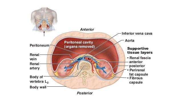 Renal vascular anatomy Slide 2