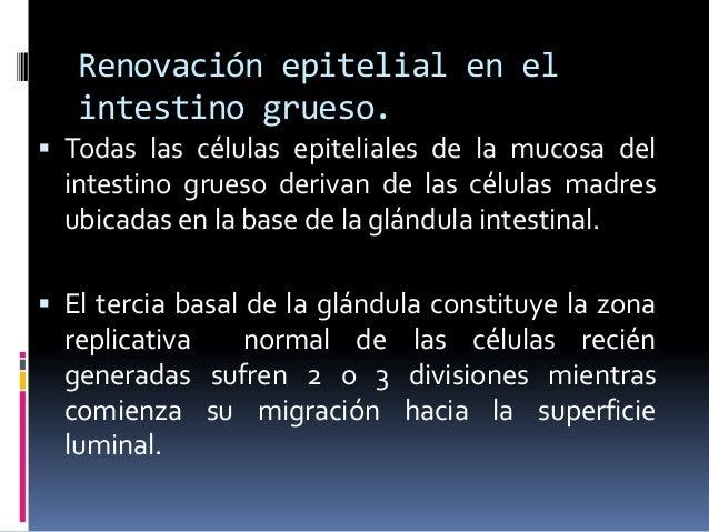 Renovación epitelial en el intestino grueso.  Todas las células epiteliales de la mucosa del intestino grueso derivan de ...