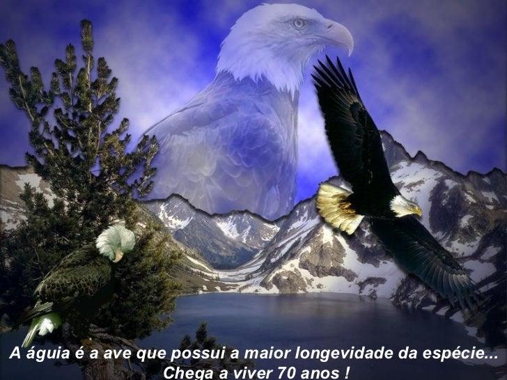 A águia é a ave que possui a maior longevidade da espécie... Chega a viver 70 anos !