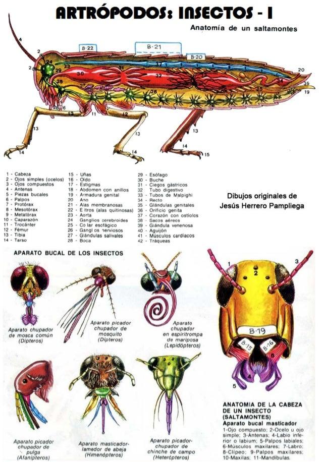 Increíble Anatomía De Los Insectos Viñeta - Anatomía de Las ...