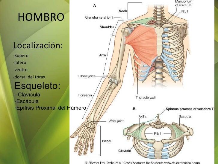 Vistoso Hombro Anatomía Ppt Galería - Anatomía de Las Imágenesdel ...