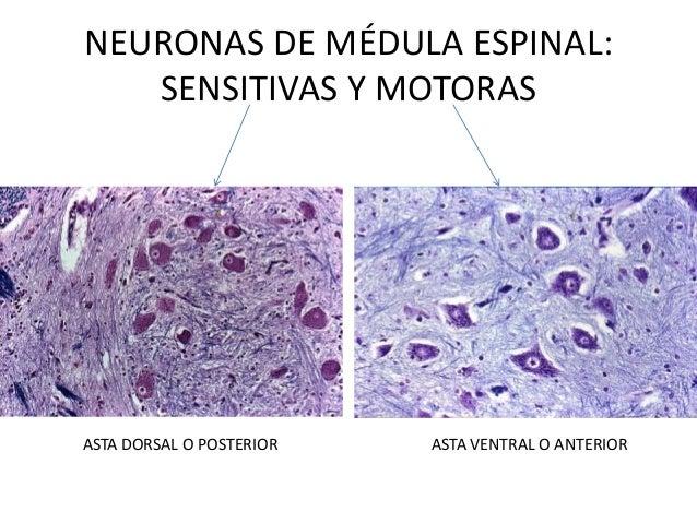 Repaso imgenes histolgicas de tejido nervioso