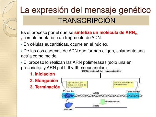 La expresión del mensaje genético                 TRANSCRIPCIÓNEs el proceso por el que se sintetiza un molécula de ARNm, ...