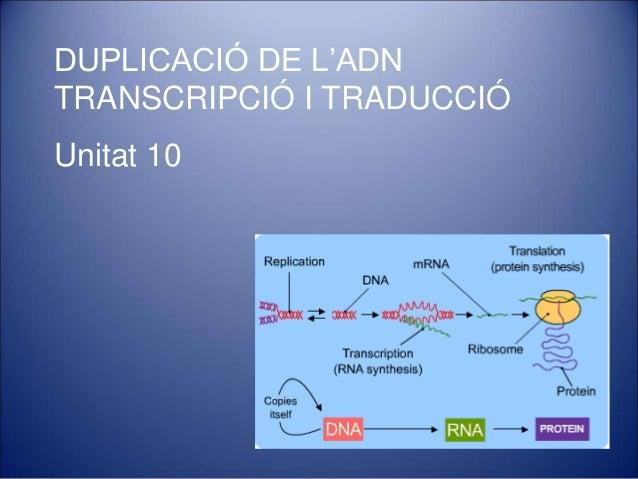 DUPLICACIÓ DE L'ADN TRANSCRIPCIÓ I TRADUCCIÓ Unitat 10